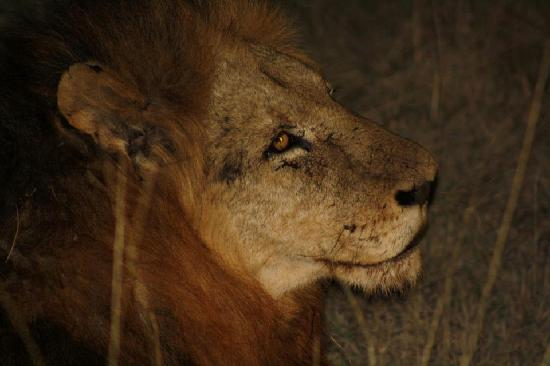 Idube Private Game Reserve Lodge: Lion