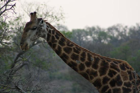 Idube Game Reserve Lodge: Giraffe