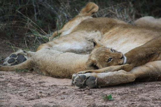 Idube Game Reserve Lodge: Lion cub