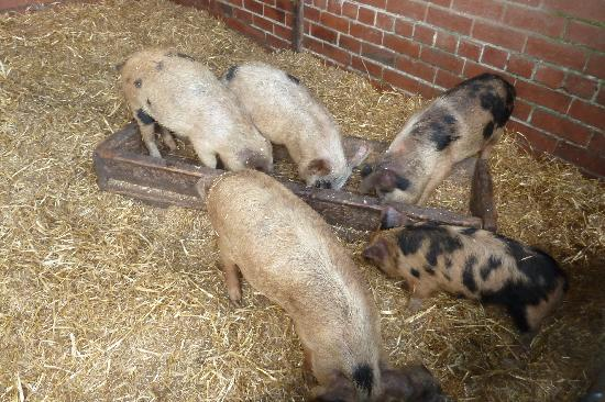 The Barn Cafe Bistro: pigs