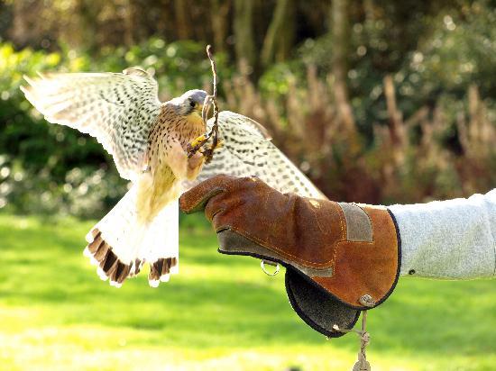 Cheshire Falconry: kestrel