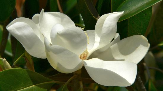 Myrtle Beach State Park: magnolia flower
