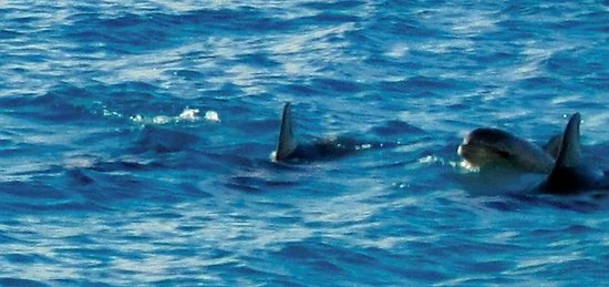 Cozumel's Condominios Marazul: dolphin pod swam by about 20 yards offshore!