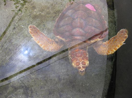 Boca Raton, FL: Sea turtle in habitat pool