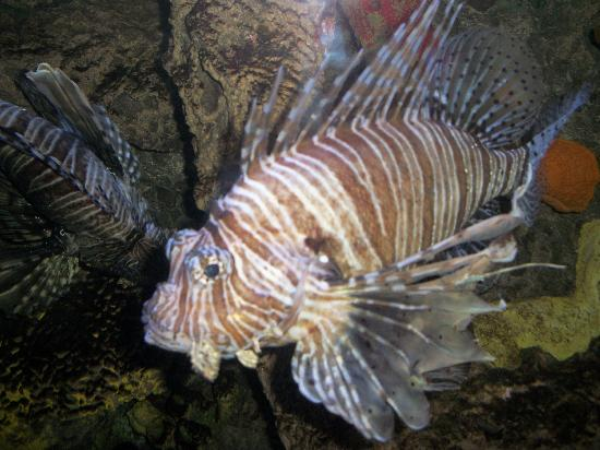 Tigerfish picture of downtown aquarium houston for Places to fish in houston
