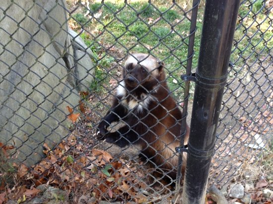Henson Robinson Zoo: Wolverine came to greet us.