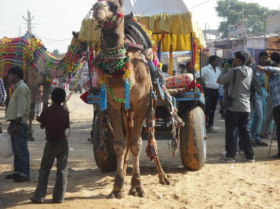 Rajasthan Royal Desert Camp: Camel cart transport to fair