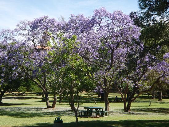 Sheraton Pretoria Hotel: Yacaranda tree in park near hotel