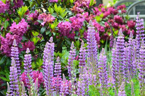 Edward Adams House B&B: lupine