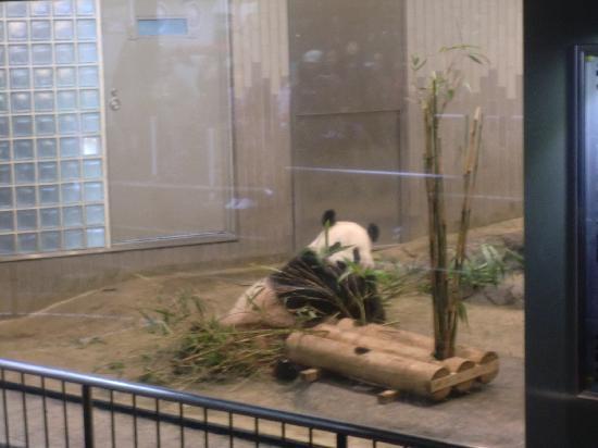 สวนสัตว์อุเอะโนะ: パンダ