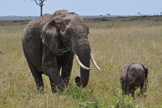 Mara Timbo Camp: Elefant mit Baby