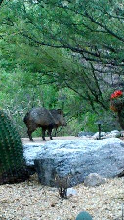 Loews Ventana Canyon Resort: The wild javelina as viewed from my patio!