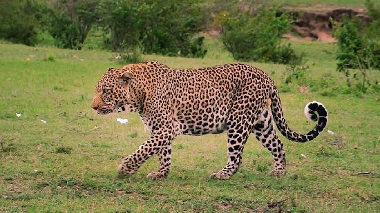 Mara Eden Safari Camp: leopard on the fringe of the camp