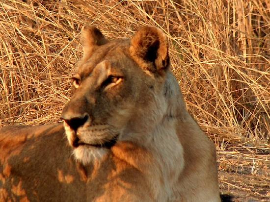 Mara Eden Safari Camp: lioness across the river