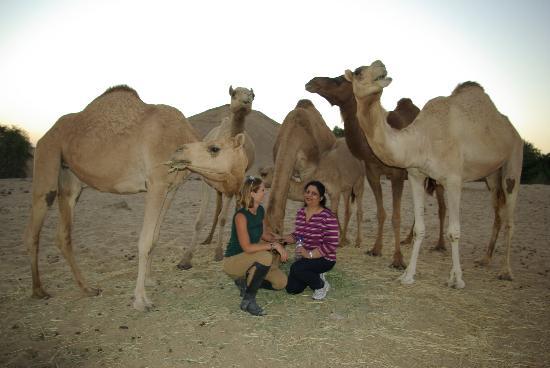 The Desert Ranch: camels,camels!
