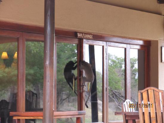 Monwana Game Lodge: velvet monkey heeft dorst?