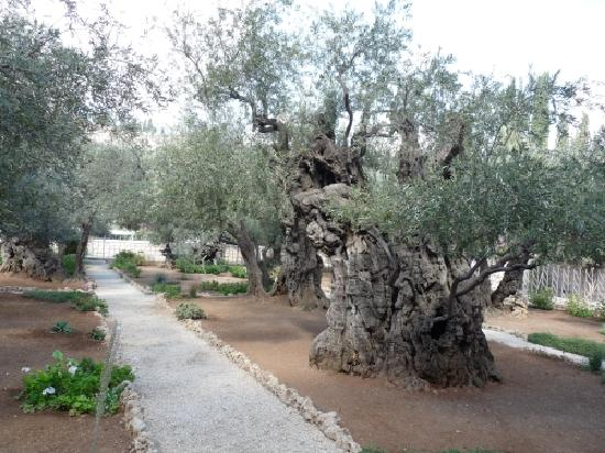 Guided Tours Israel   Day Tours : Garten Gethsemane