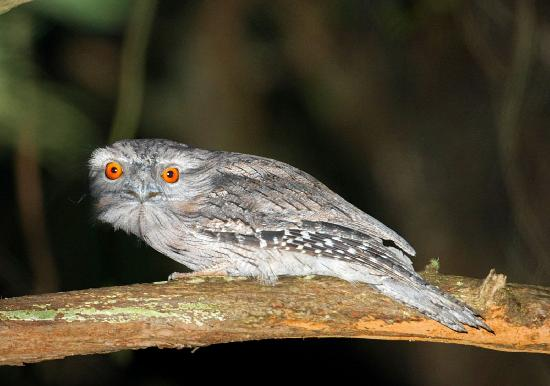 The Melbourne Birder Day Tours: tawny frogmouth spotlighted