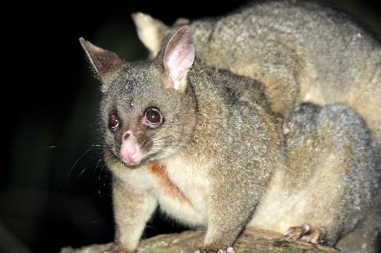 The Melbourne Birder Day Tours: brush-tailed possum