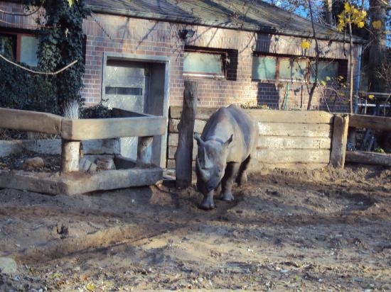 """Zoologischer Garten (Berlin Zoo): Poor rhino doing an """"infinity loop"""" or figure-of-eight"""