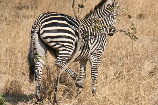 Flatdogs Camp: itchy zebra