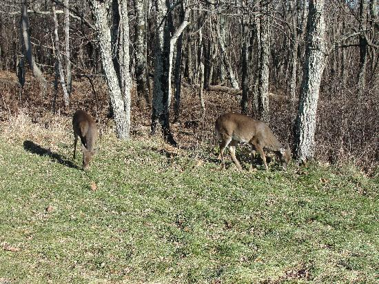 Piney Hill Bed & Breakfast: Deer feeding on the side of Skyline Drive