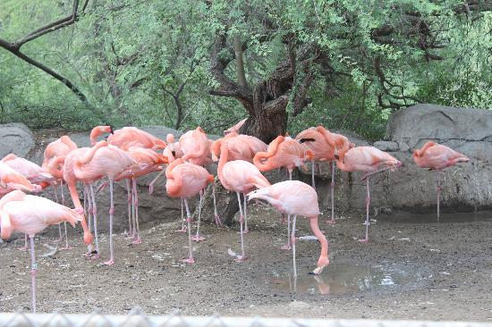 Gladys Porter Zoo: Carribean Flamingos at GPZ in Brownsville TX