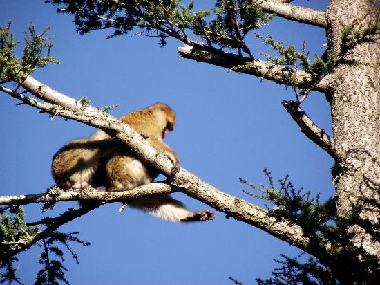 Morocco Unexplored - Private Day Tours: Barbary macaque (Macaca sylvanus) above Azrou