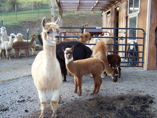 Pearisburg, VA: Alpaca's outside the barn area.