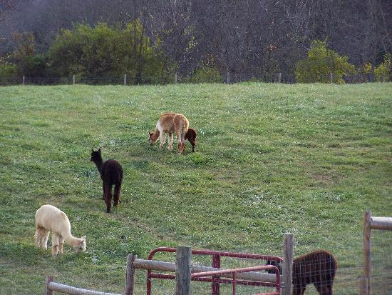Back Country Ranch : Alpacas out in the pasture.