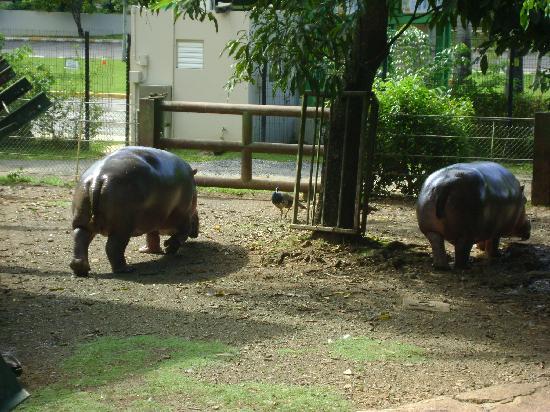Mayaguez Zoo: Hipotamos