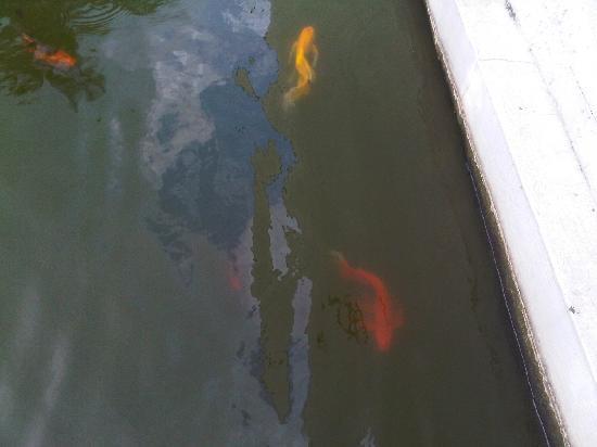 Fische im teich fotograf a de itc sonar kolkata calcuta for Fische in teich