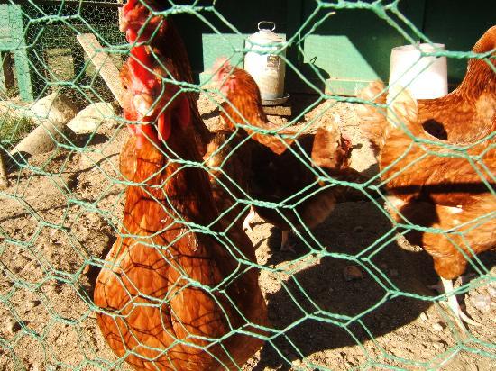 La Bougie Verte: Les poulettes