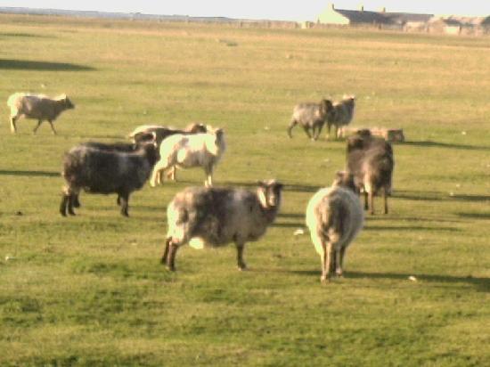 North Ronaldsay Lighthouse: The Rare Sheep of North Ronaldsey
