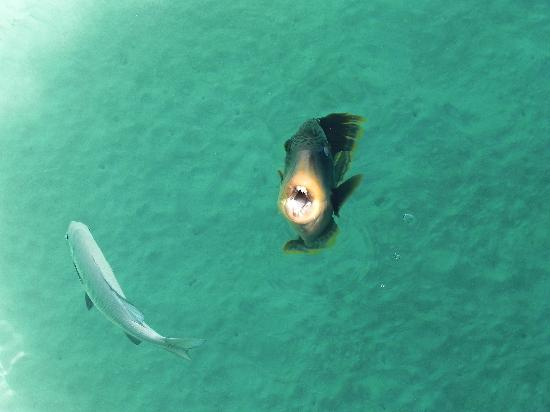 Kuramathi Island Resort: The local Trigger fish!