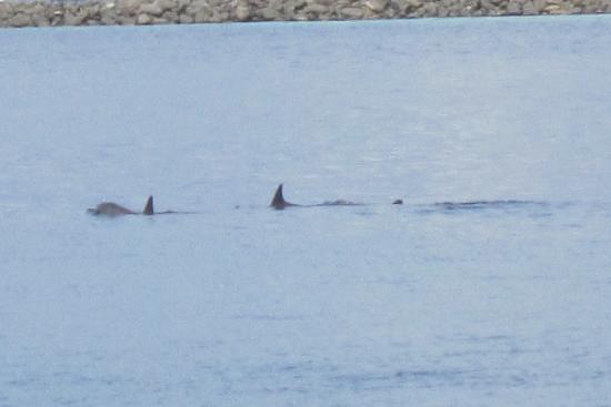 Kuramathi Island Resort: Dolphins in the laguna