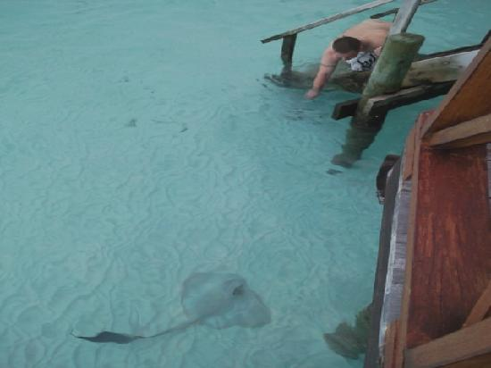 Thulhagiri Island Resort: sting ray at the steps to our bungalow