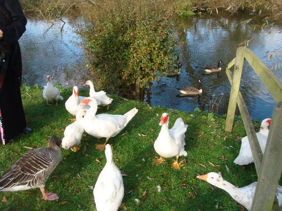 Cherbridge Cottages: Ducks by the river