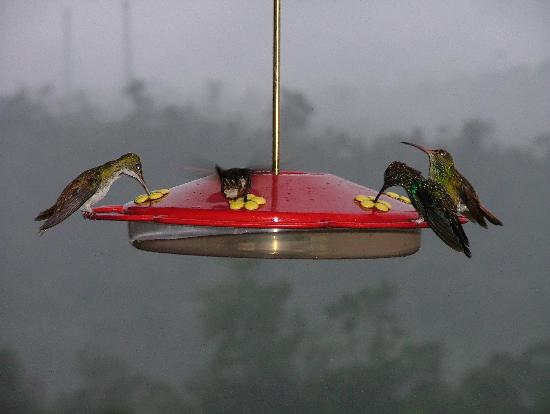 Hacienda San Vicente: Four species of hummer on a feeder