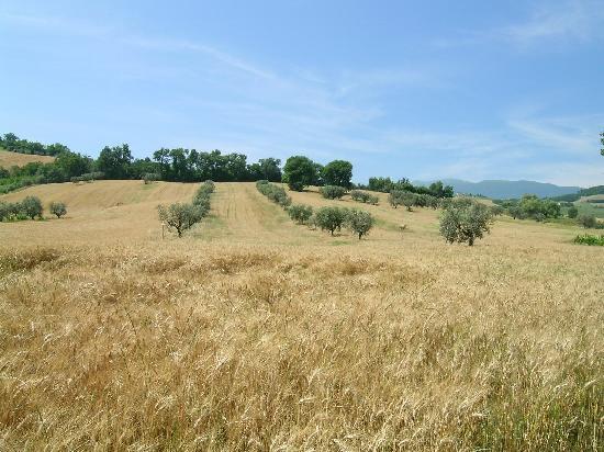 Province of Ascoli Piceno, Italien: campi di grano e uliveti nel Picenoshire