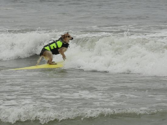 Huntington Dog Beach: surf dog
