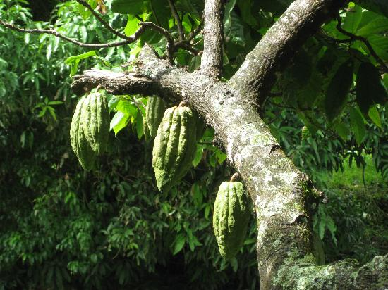Boucan by Hotel Chocolat: Just a few of the hundreds of caoco pods growing on the estate