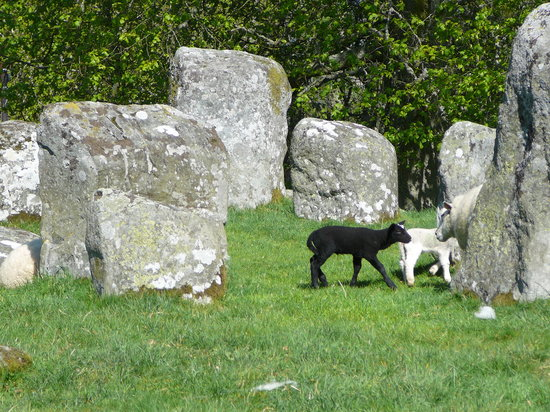 Croft Moraig: Lambs among the stones