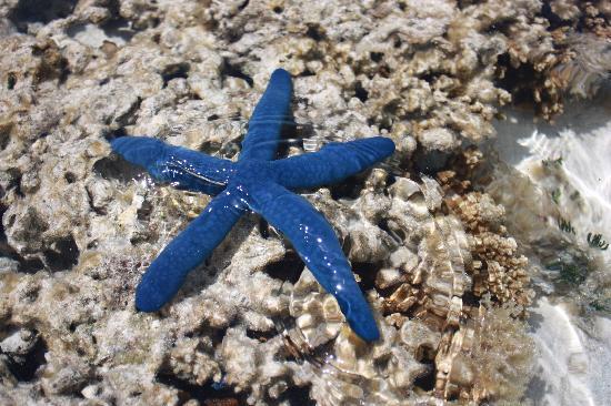 Heron Island, Australia: star fish