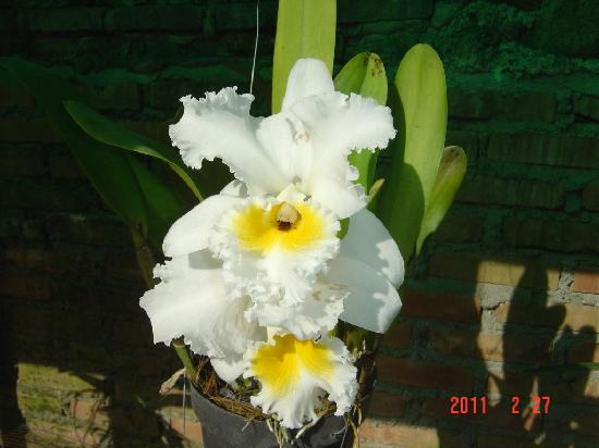 ‪‪Horas Family Home‬: Cattleya Orchid, Horas Family Home‬