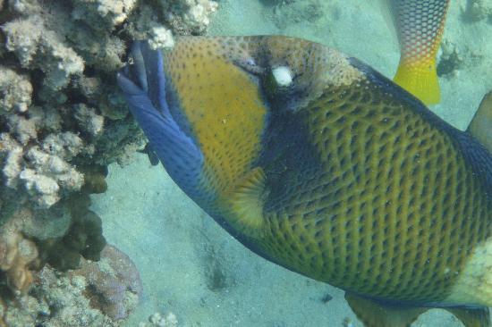 Brayka Bay Reef Resort: Riesiger Drückerfisch in der Bucht