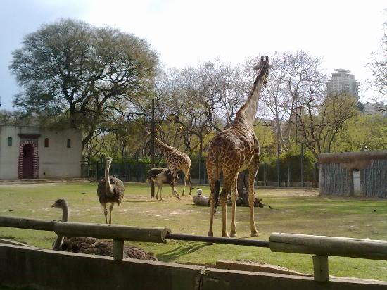 Zoo Buenos Aires: Jirafas Zoo de Bs As