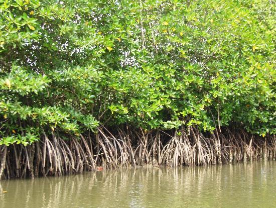 Tagum City, Philippines: mangrove plants