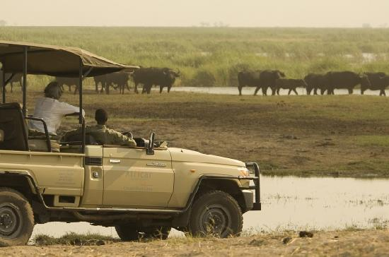 Linyanti Bush Camp: Fantastic game viewing opportunities as large populations of Elephant and Buffalo congregate in