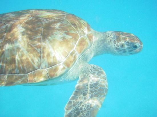 Elegance Catamaran Cruises: Sea turtle we met on the excursion